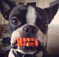 Bulldog Vampire, French Bulldog Puppy
