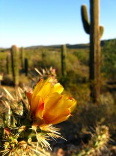 A Buckhorn Cholla cactus flower adds a touch of color to the desert.- Maricopa County, Arizona | .Paul Westcott