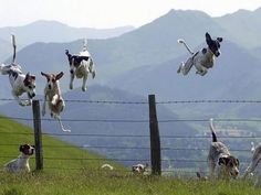 Hunting hounds crossing a fence