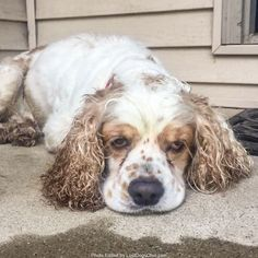 Found Dog - Male  - Tallmadge, OH, USA 44278 on July 08, 2017 (07:30 AM)  Do you know this Dog? #Tallmadge (Route 91 near Tallmadge Circle Area)  #OH 44278 #Summit Co. , #Found #Dog 07-08-2017!, Male #Cocker Spaniel White / Tan/  More Info, Photos and to Contact: http://www.helpinglostpets.com/petdetail/?id=1804712  To see this pet's location on the HelpingLostPets Map: http://www.helpinglostpets.com/v2/?pid=1804712  Let's get this dog home! #lostdogsohio  #HelpingLostPets