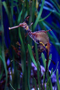 Caballito de mar | Flickr: Intercambio de fotos
