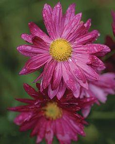 Not Your Average Mums | Fine Gardening