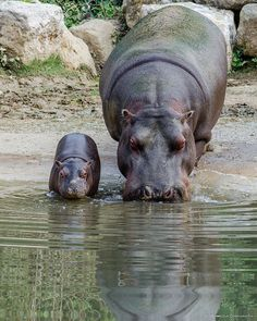 Mother hippo with calf drinking at a water hole.