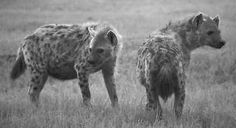 Karl Kraus: The Last Days of Mankind, The Last Night: Is there something you want? Something you need? We're here in our masks to help, not to feed. Don't let matted hair and manes put you off, We're hyenas, not humans, we're not here to scoff. We've come to the Field of Honour again, To make sure your sacrifice wasn't in vain. What's surplus to need, we can take right now; Who needs jewellery and cash in a grave anyhow?