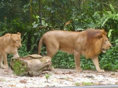 Lions in a Zoo.