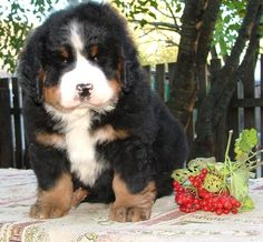 Bernese puppies for sale» #puppy, #bernesepuppyforsale, #bernesemountaindog Bernese puppies for sale Spirit Dream kennel - https://www.facebook.com/irina.gudkova.3