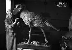 Leon Pray, taxidermist, puts finishing touches on the life sized model or reconstruction of a Terror Bird, Phororhacus/Andalgalornis, Field Museum USA