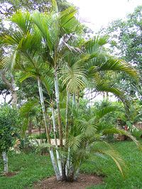 Areca Palm Tree - Chrysalidocarpus lutescens or Dypsis lutescens #coolPalms #tropicalbackyards