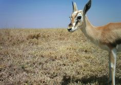I just classified this image on Snapshot Serengeti! Thomson's Gazella