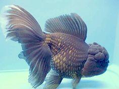 oranda goldfish   Oranda Goldfish, Red & Black Oranda Scientific Name: Carassius auratus