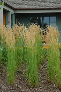 "Karl Foerster Reed Grass    Calamagrostis x acutiflora ""Karl Foerster""  Height: 3- 5 feet    Spread: 32 inches    Sunlight:  full sun  partial shade     Hardiness Zone: 3    Other Names: Feather Reed Grass; blooms in early June"