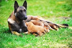 Learn about Belgian Malinois breed before you get one. They are a handful...and super strong and super smart and super protective. In other words, commit yourself to training and handling. If you can do that, this is a loving, caring, protective, active, fun breed.