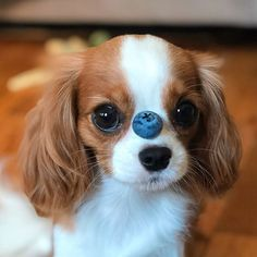 Probably the tiniest cavalier puppy who is taking the internet by storm with nothing else but his cuteness. Super Cute Puppies, Cute Baby Dogs, Cute Little Puppies, Super Cute Animals, Cute Dogs And Puppies, Cute Little Animals, Cute Funny Animals, Doggies, Cute Pets