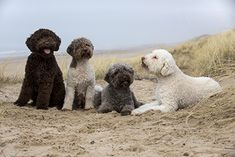 Cool Pets, Cute Dogs, All Dogs, Dogs And Puppies, Curly Coated Retriever, Lagotto Romagnolo, Bluetick Coonhound, American Akita, Norwich Terrier
