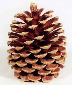 Pine Cones and Botanicals