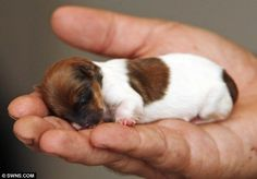 Meet the tiny Jack Russell Chihuahua-cross puppy whose face is the size of a 50p piece