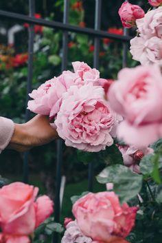 Huge pink roses!