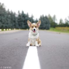 At the end of the road is one cute Corgi!