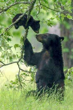 Black bear with baby sweet animal photography pictures Nature Animals, Animals And Pets, Black Animals, Wild Animals, Beautiful Creatures, Animals Beautiful, Pretty Animals, Cute Baby Animals, Funny Animals