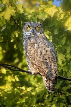 Great Horned Owl in Montana - Great Horned Owl in Ninepipe National Wildlife Refuge in Montana
