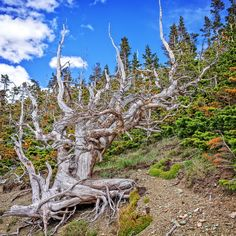 Ghost Tree in the Pine Forest - A beautiful ghost tree in the midst of a pine forest on Mount Hermon in Glacier National Park, Montana.