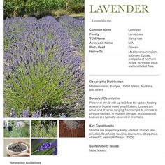 A gift for you.   TOMORROW we have the pleasure of sharing a FREE download of the Lavender Monograph from The Herbarium! Make sure you are signed up for our newsletter and check your inbox tomorrow for the free download.  SIGN UP ––> theherbalacademy.com/sign-up