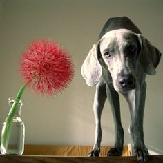Weims are so cute!