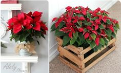 Poinsettia has the most lovely color of leaves and really suitable for christmas. It is also flexible to decorate poinsettia plants for your home Christmas House Lights, Christmas Mood, All Things Christmas, Xmas, Natal Natural, Navidad Natural, Outdoor Christmas Decorations, Christmas Centerpieces, Poinsettia Plant