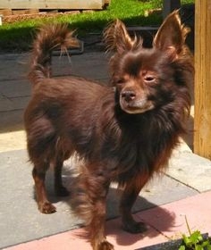 Sammy is an adoptable Chihuahua Dog in Rockville, MD Fostered in Monrovia, MDMy name is Sammy, and I am a 7yr old, 10lb, long haired Chi. I was resc ... ...Read more about me on @petfinder.com