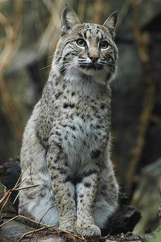 ~~Bobcat by ucumari~~