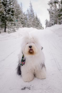 old english sheepdog, snowdowne, mt hood snow dog Giant Dog Breeds, Giant Dogs, Sheep Dog Puppy, Dog Cat, Sheep Dogs, Baby Dogs, Dogs And Puppies, Doggies, Old English Sheepdog Puppy