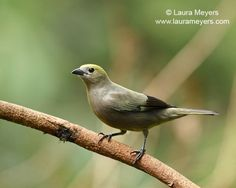 The Palm Tanager (Thraupis palmarum) is a medium-sized passerine bird. This tanager is a resident breeder from Nicaragua south to Bolivia, Paraguay and southern Brazil. It also breeds on Trinidad and, since 1962, on Tobago.