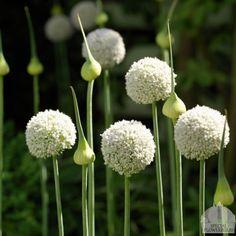 Night Garden, Side Garden, Garden Bulbs, Garden Plants, Beautiful Gardens, Beautiful Flowers, White Flowering Shrubs, White Plants, White Gardens
