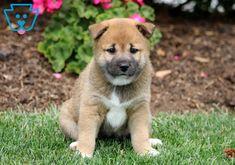 Carebear | Shiba Inu Puppy For Sale | Keystone Puppies Baby Puppies For Sale, Cute Puppies, Shiba Inu, Cute Babies, Husky, Dogs, Animals, Animales, Animaux