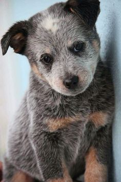 Australian cattle dog blue heeler