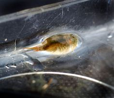 Oldest living creature Triops cancriformis, also known as tadpole shrimps, have existed for the last 200 million years, according to the Guinness Book of World Records.