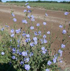 chicory, blue daisy, succory Cichorium intybus | UMass Amherst Landscape, Nursery & Urban Forestry Program