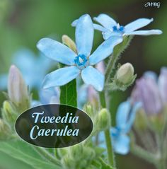 Tweedia caerulea is blue milkweed that supports garden pollinators including red admiral butterflies and bumble bees. Southern star is the only milkweed variety with true blue flowers. Planting Seeds, Planting Succulents, Flower Garden Plans, Flowers Garden, Milkweed Plant, Seed Starting, Types Of Plants, Monarch Butterfly, Tropical Plants