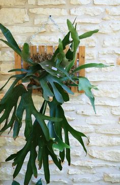 wall-mounted staghorn fern. perfect plant for indoor, possibly for office/small space. just mist once a week as maintenance. great for anyone without a green thumb.