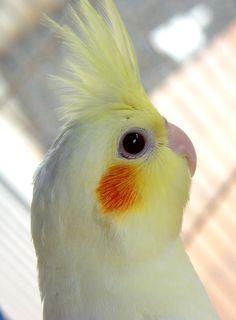 Calopsita Bird.