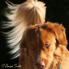 When it comes to a Nova Scotia Duck Toller, it's all about the tail. Qantas lucked out in the tail department.