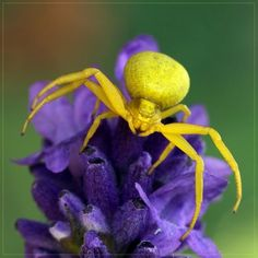 Crab spider- after three days on the same color it will become that color