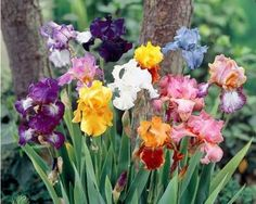 Tall Bearded Iris Mix