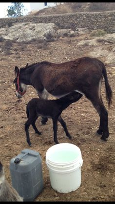 New born #donkey in #Mykonos !