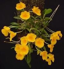 Mounted Blooming Size Fragrant Miniature Species Dendrobium Jenkinsii