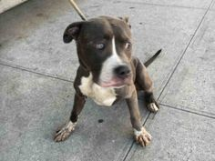 Brooklyn Center GREYSON – A1089624 MALE, GRAY / WHITE, AM PIT BULL TER MIX, 3 yrs STRAY – STRAY WAIT, NO HOLD Reason STRAY Intake condition UNSPECIFIE Intake Date 09/13/2016, From NY 11434, DueOut Date 09/16/2016,