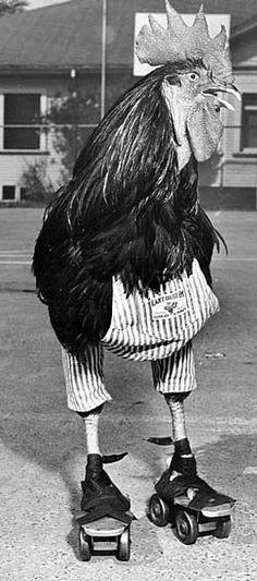 A rooster on roller skates.