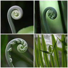 three fiddleheads and a part of a frond... | Flickr - Photo Sharing!