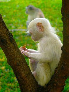 earth-song:    Albino Monkey  by~ghotti2k