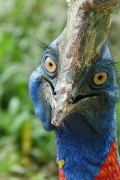 1000+ images about Cassowary on Pinterest